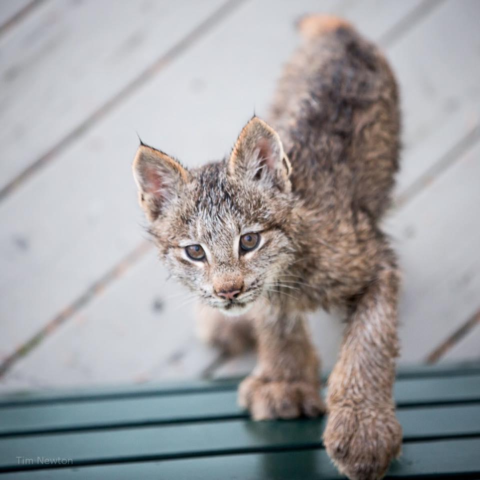 Lynx Tim Newton 3