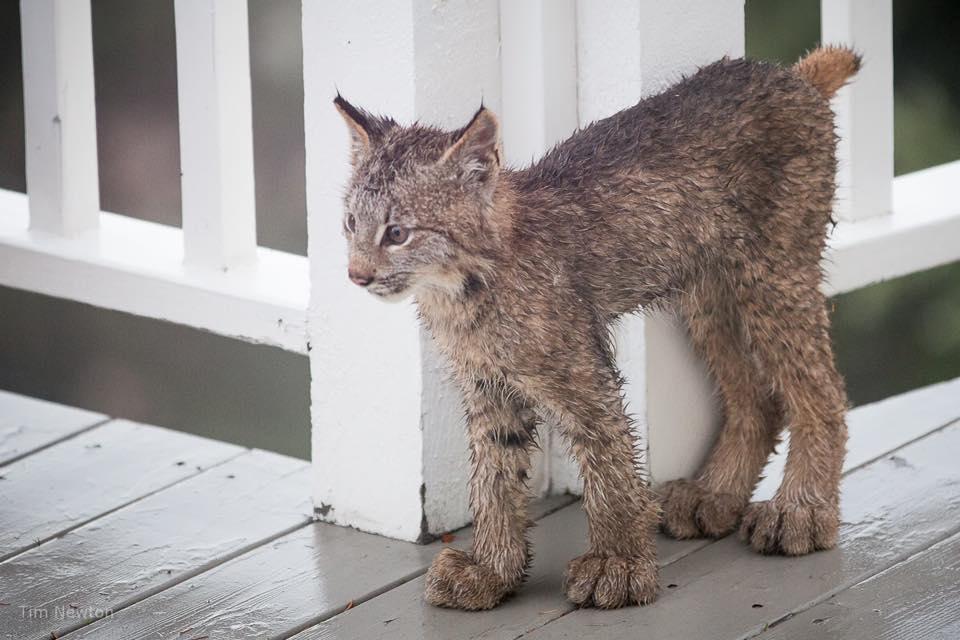 Lynx Tim Newton 4