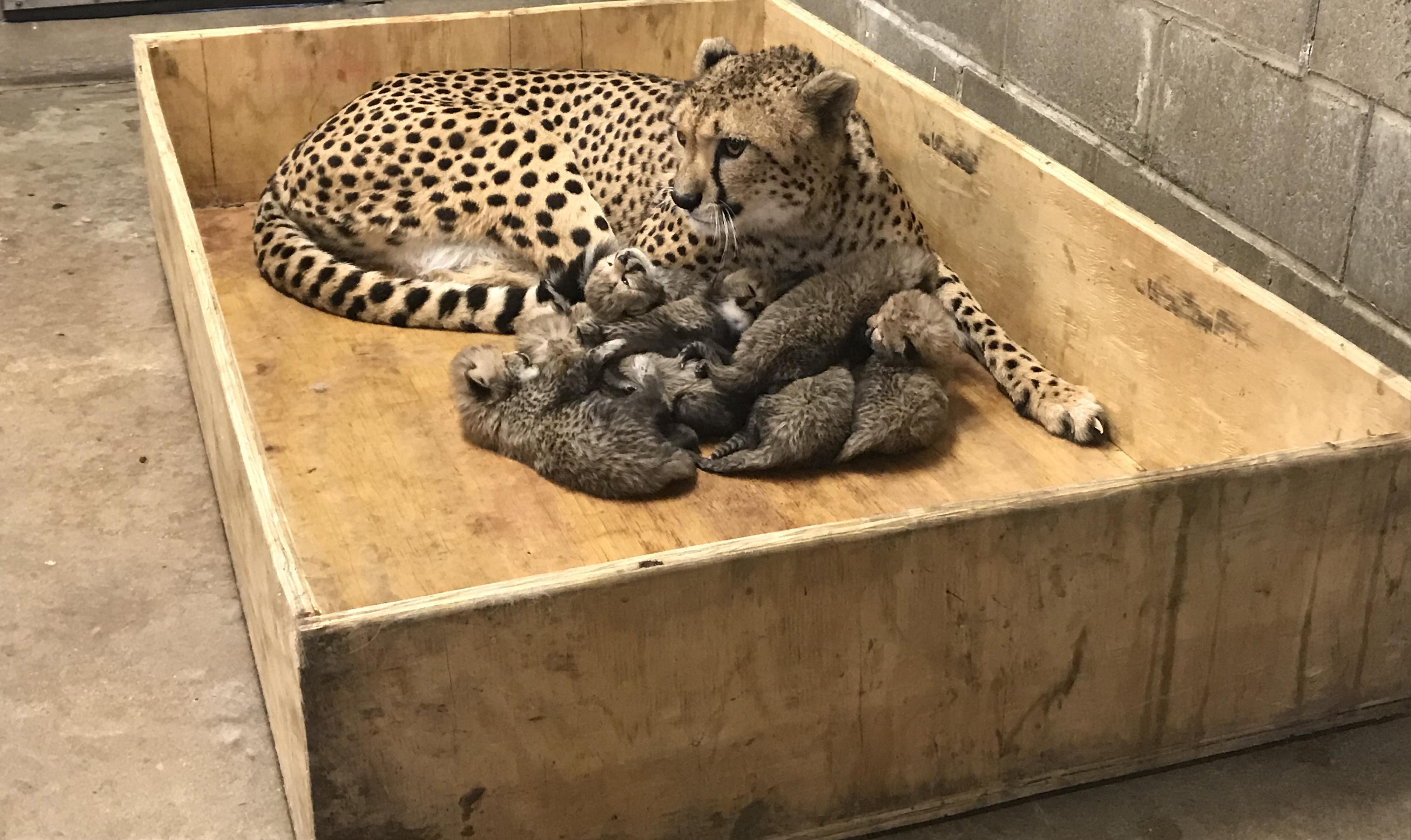 cheetah and cubs