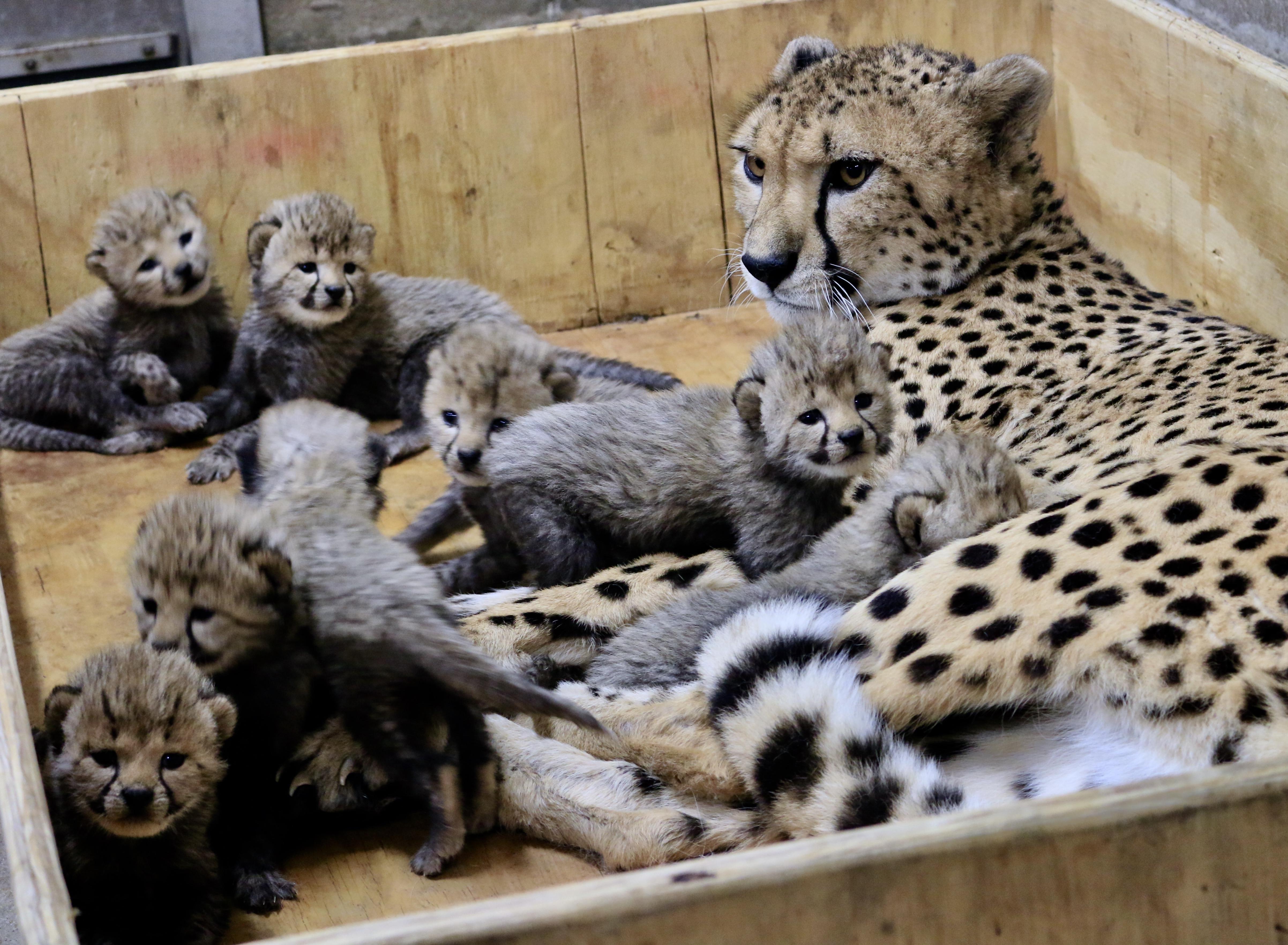 mom cheetah cubs