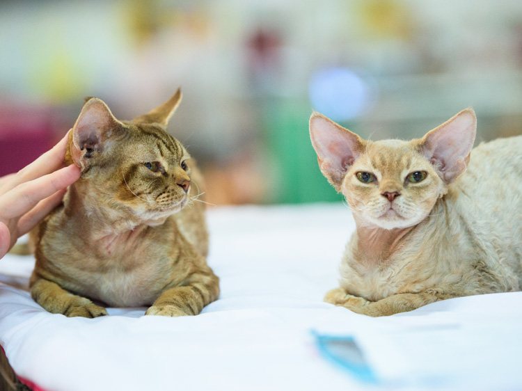 do hypoallergenic cats exist