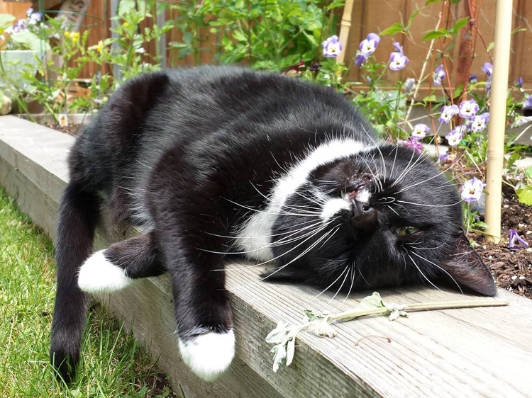 catnip effect on cats