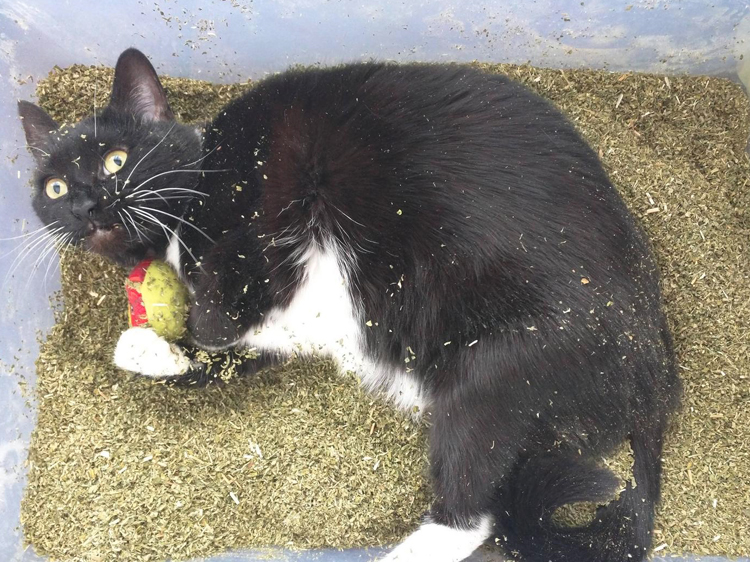 catnip on kittens
