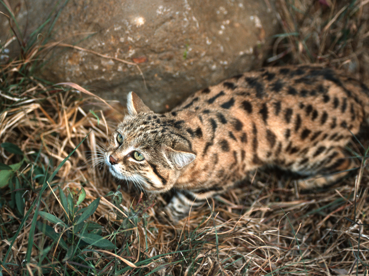 black footed cat africa