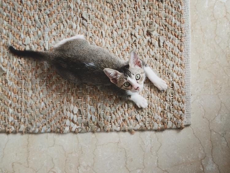 smallest cat