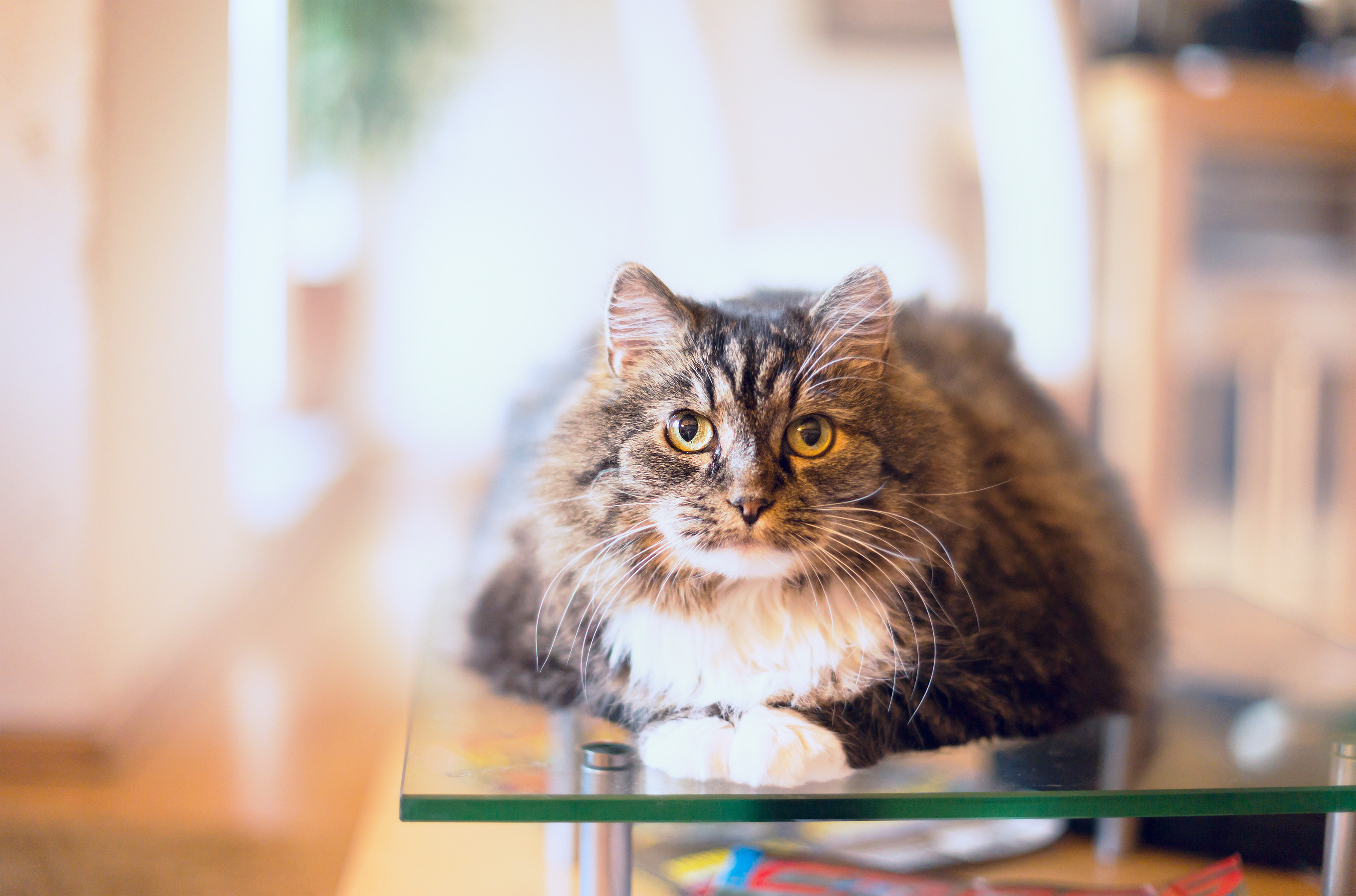 Cat sitting on glass table.
