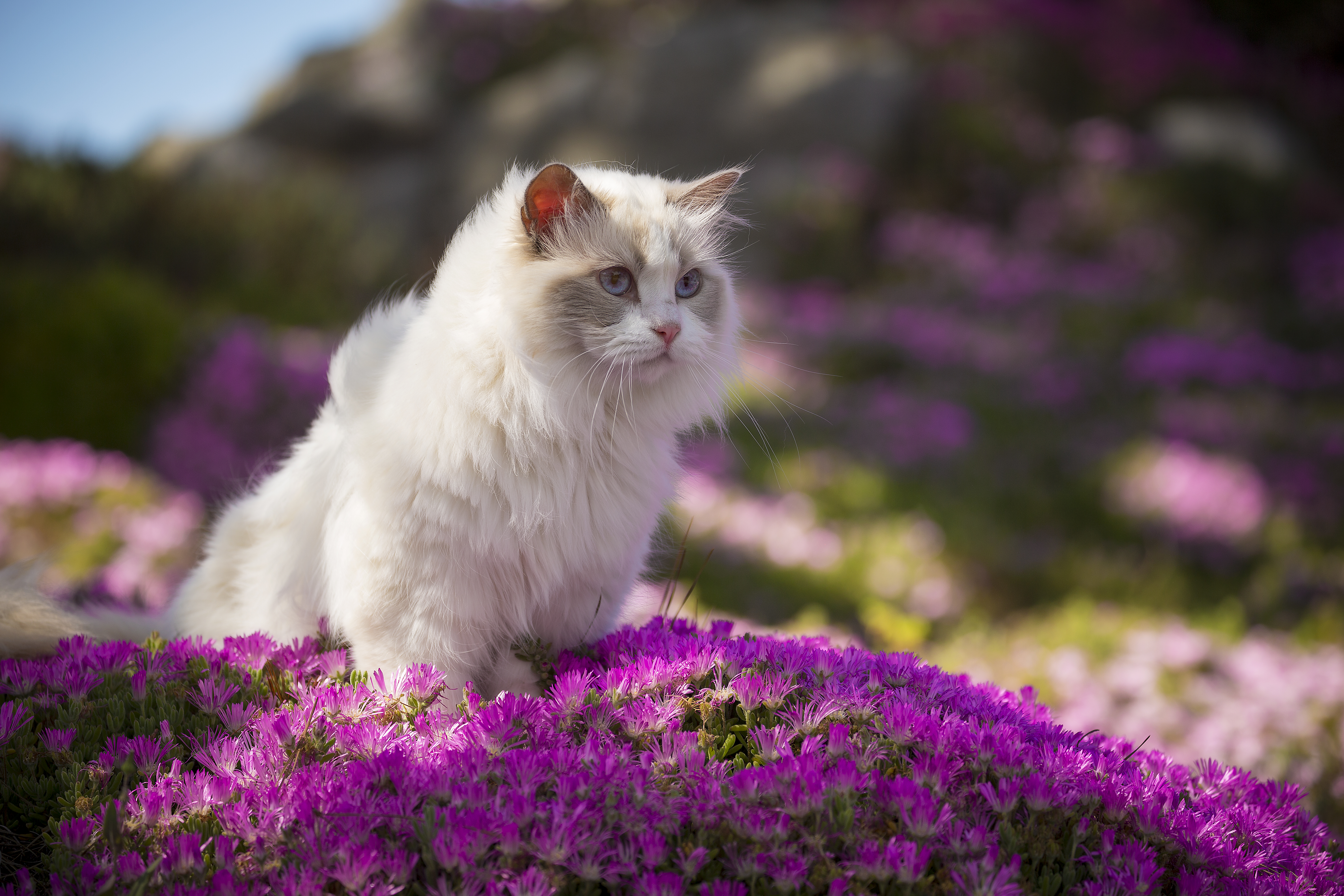 Majestic ragdoll cat standing in a field of flowers.