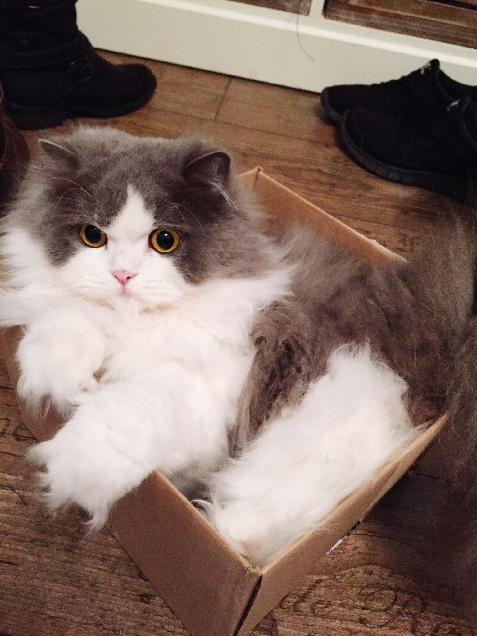 White and gray cat sitting in cardboard box.