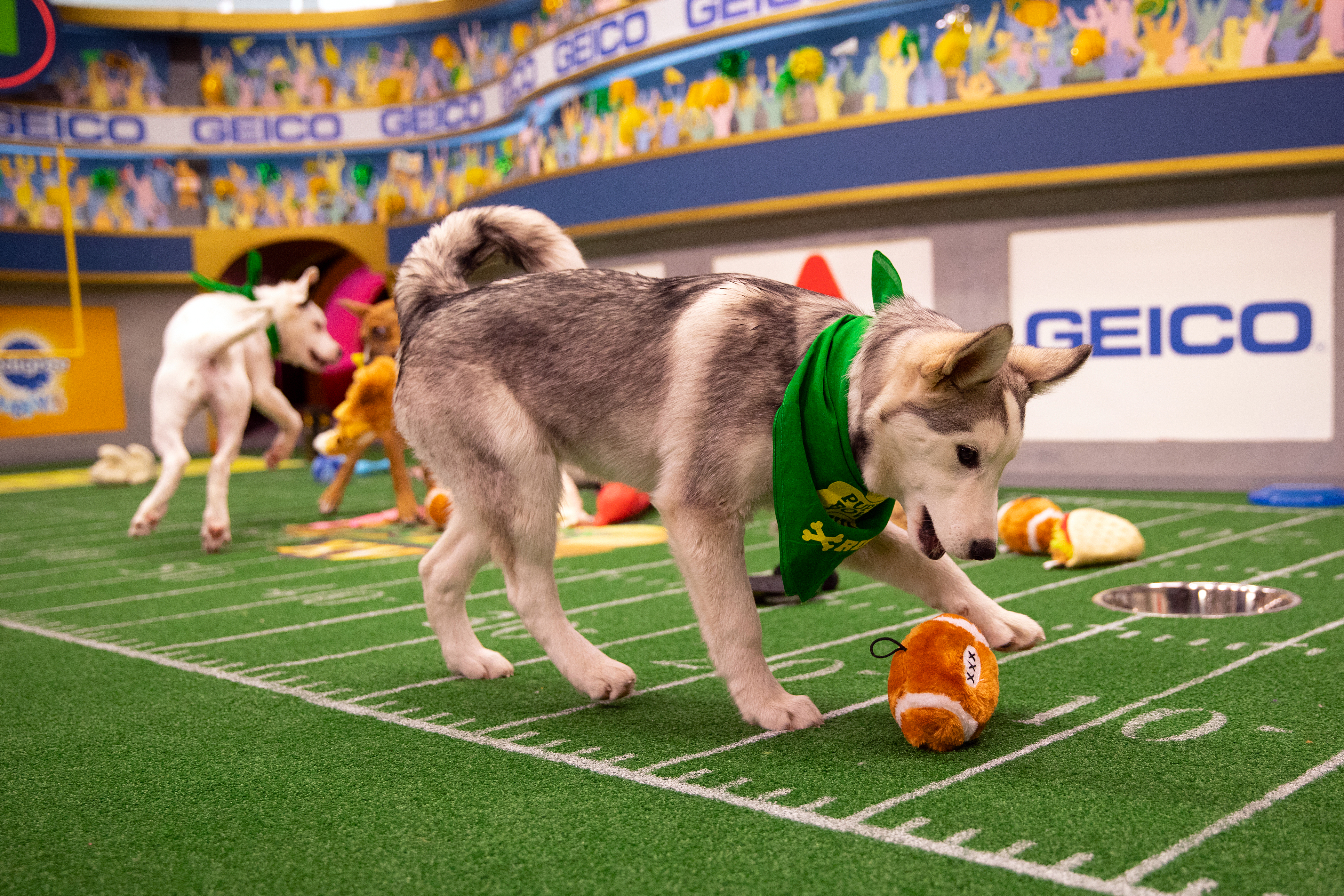Husky puppy playing with toy football at 2019 Puppy Bowl