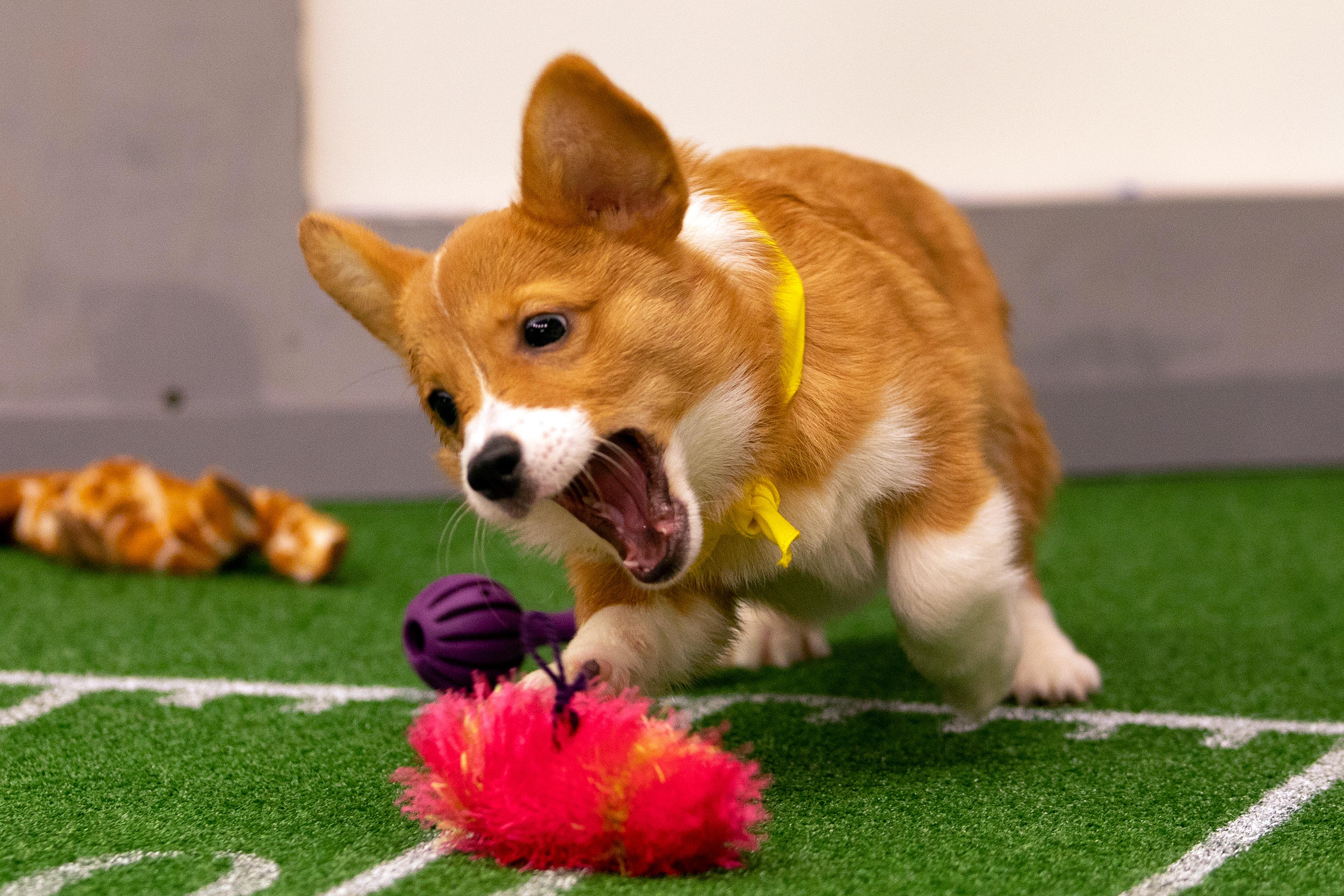 Corgi puppy playing at the 2019 Puppy Bowl