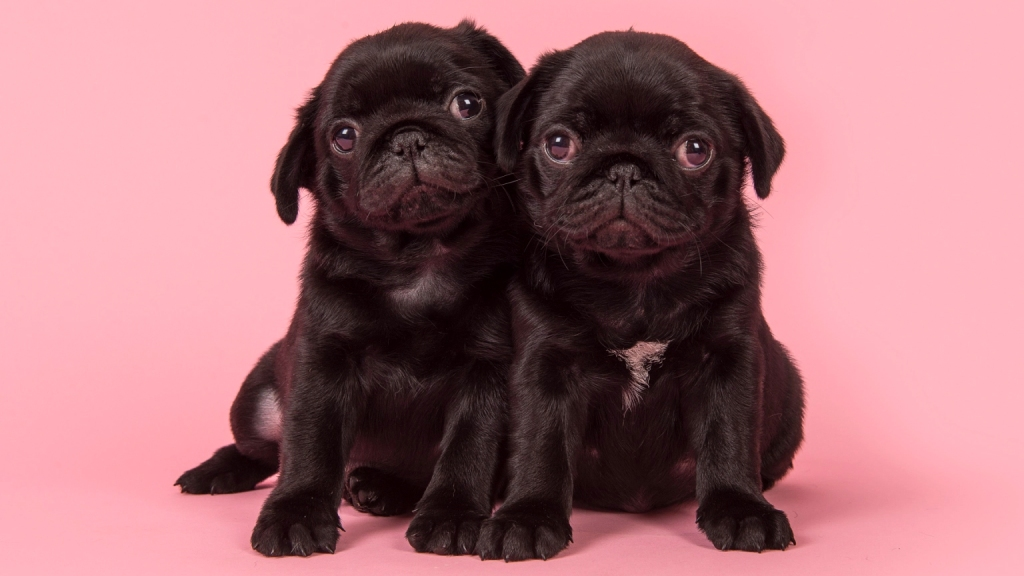 Two small black puppies