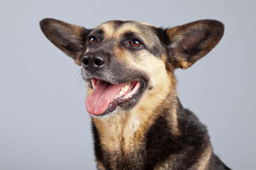 German shepherd mix dog posing