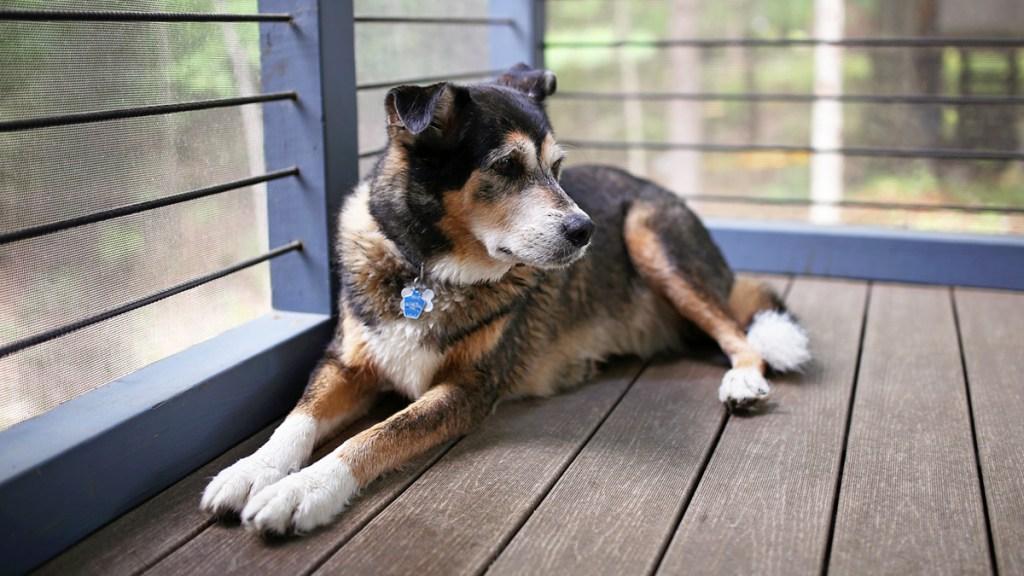 German shepherd mix lounging on patio