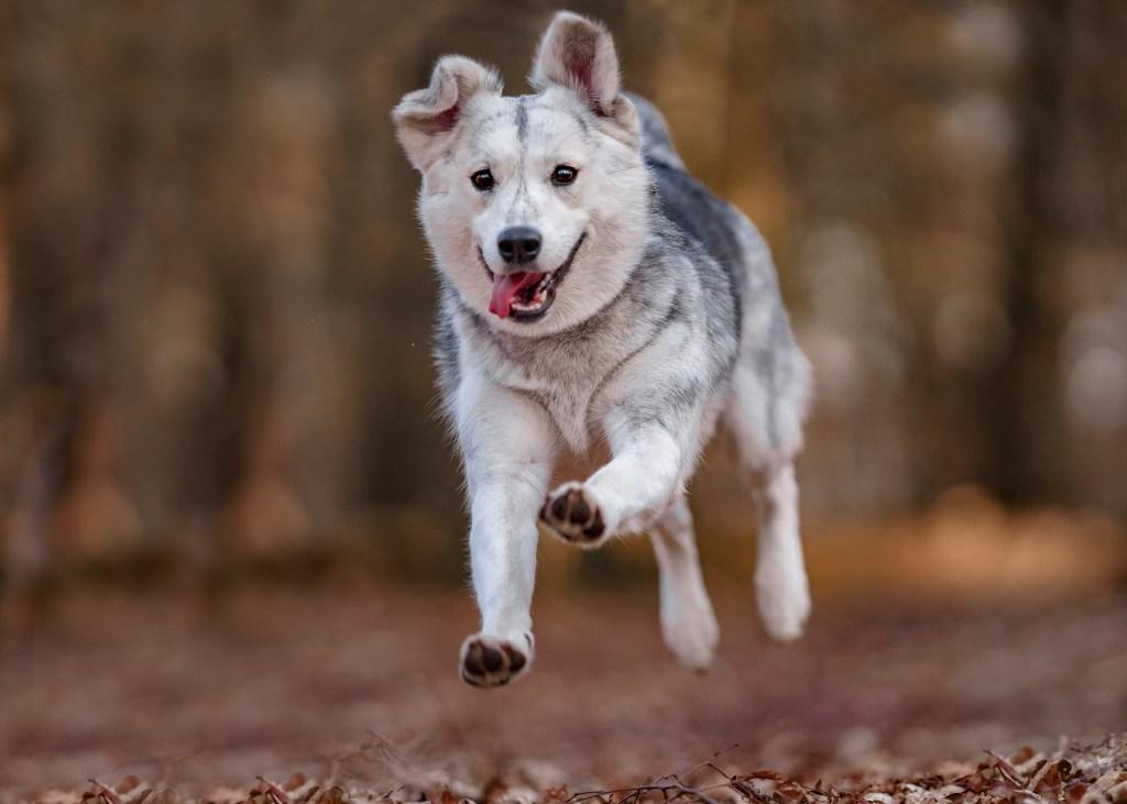 Siberian husky mix dog running through forrest