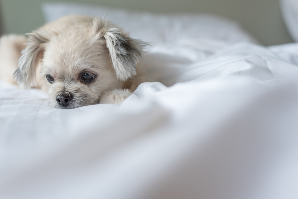 Pomeranian mix dog laying in bed