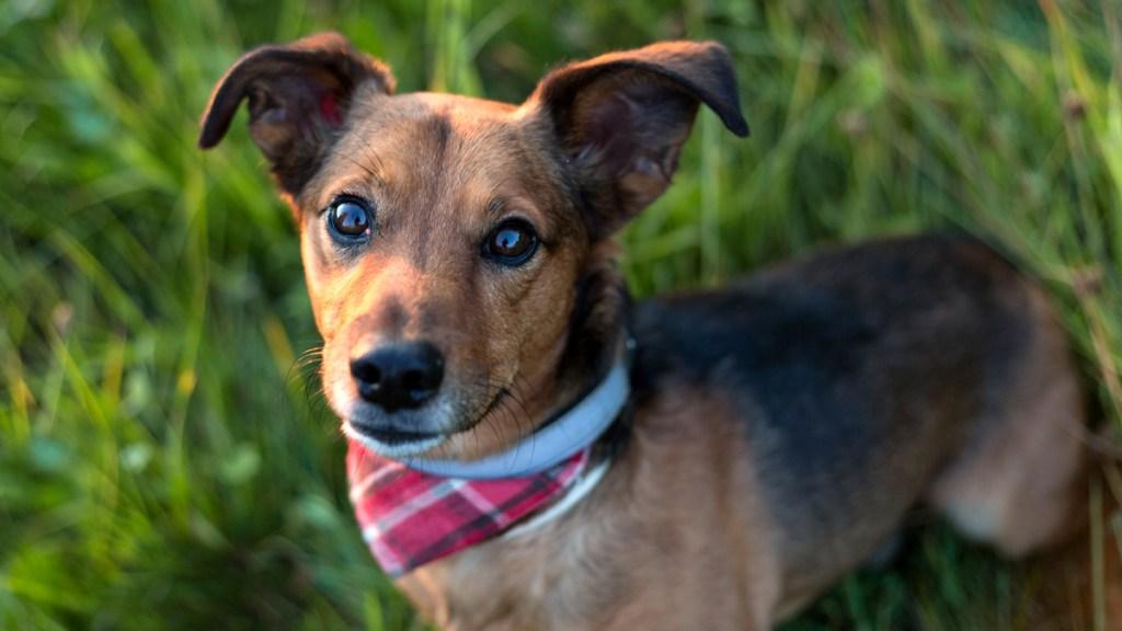 Terrier dachshund puppy with bandana