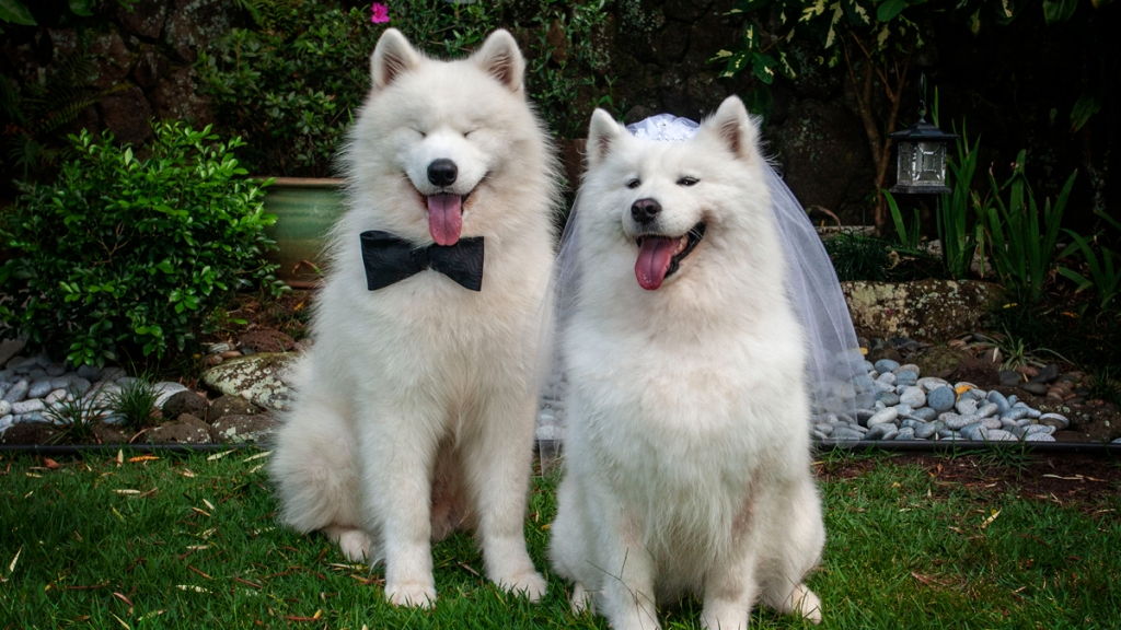 Dogs dressed as bride and groom