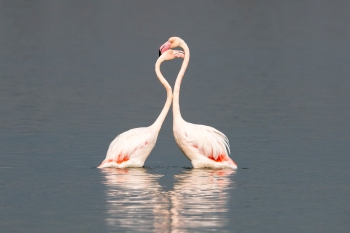 Two flamingos resting heads together