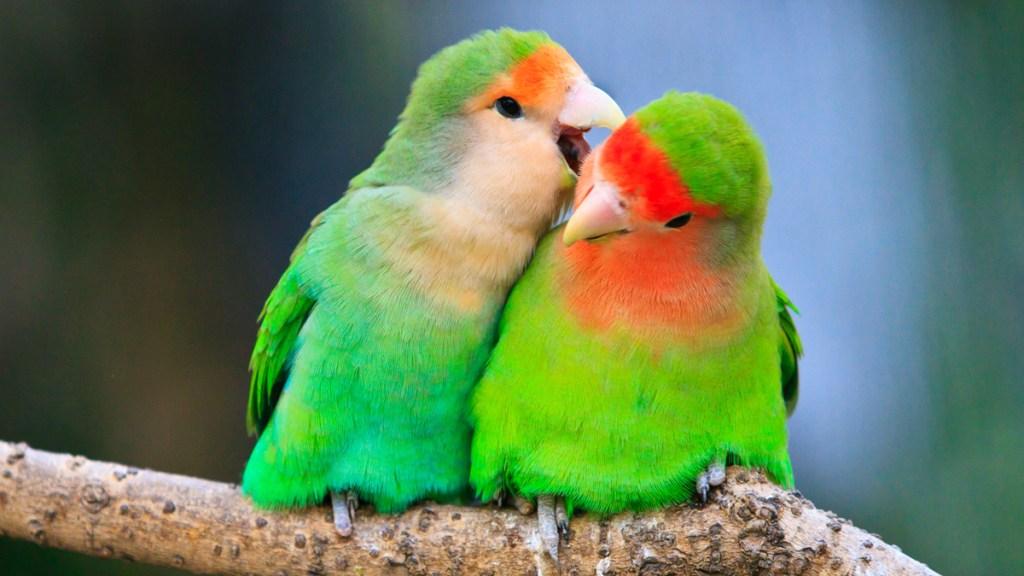 Brightly colored love birds