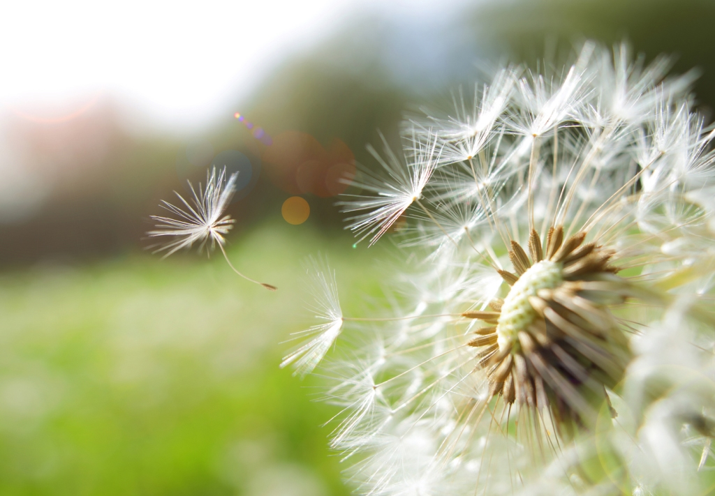 Seed coming away from dandelion