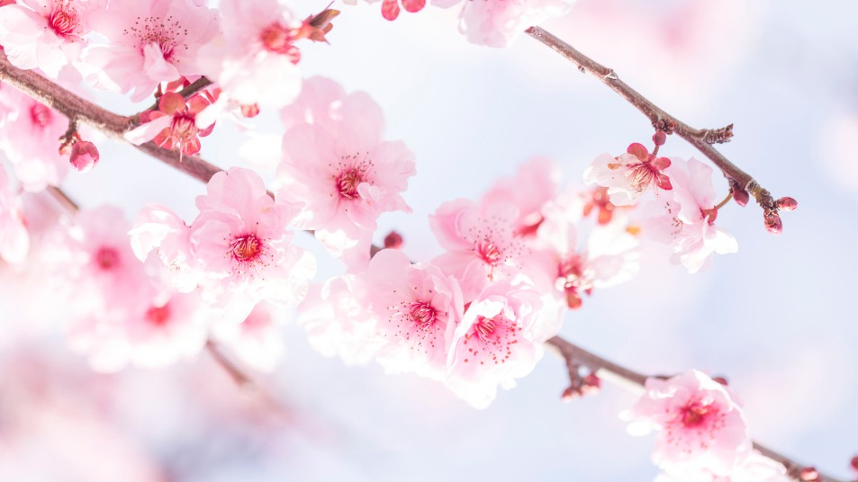 cherry blossoms spring allergies