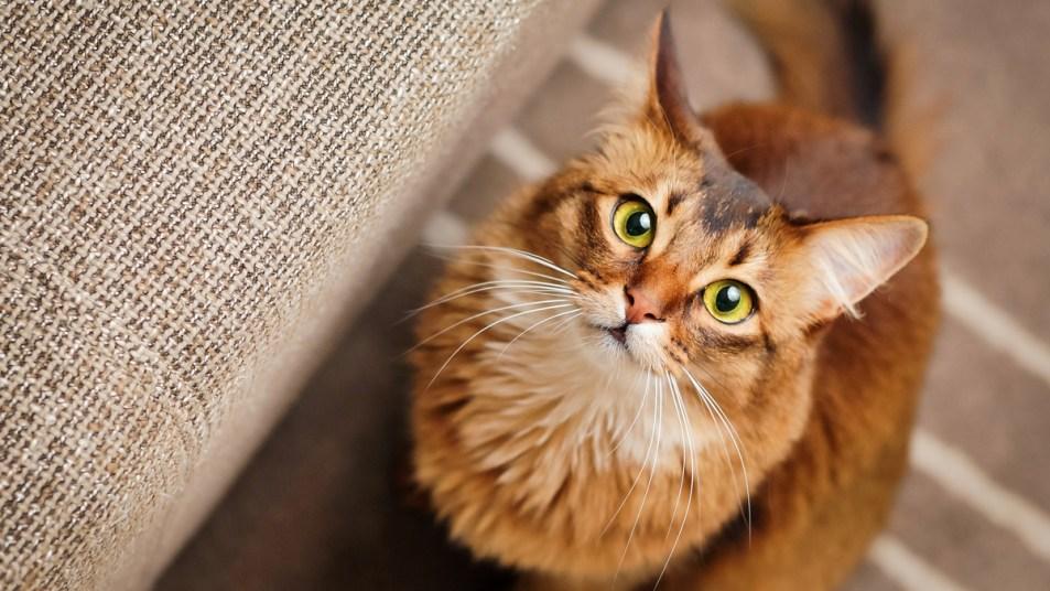 Cat staring up at camera