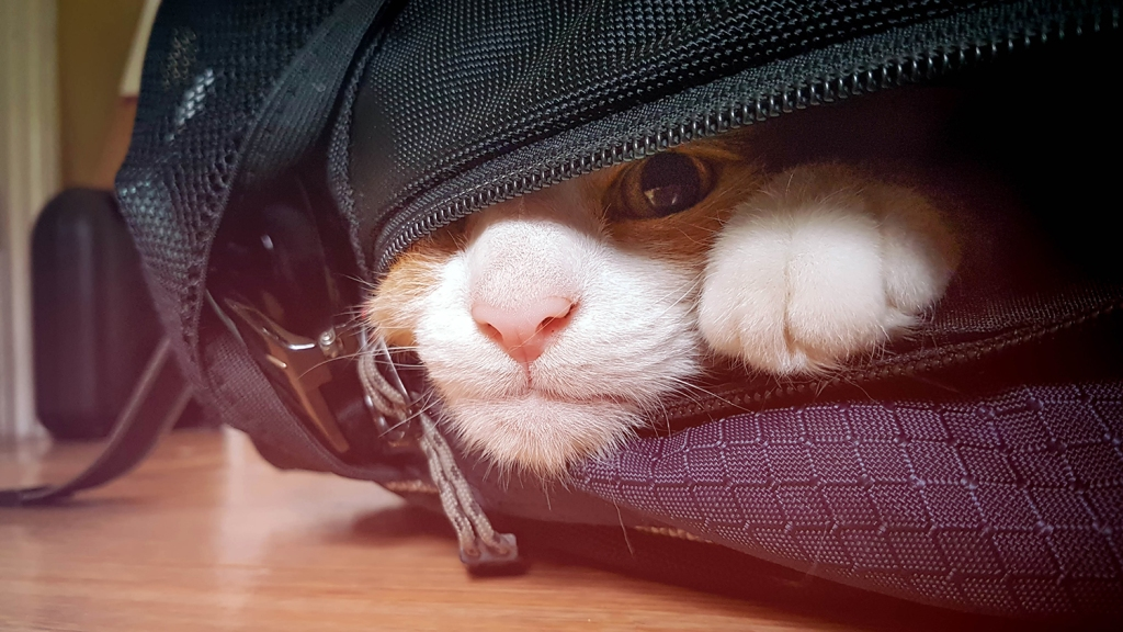 Cat with pink nose poking head out of backpack