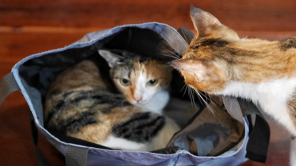 Cat looking into tote bag with other cat inside