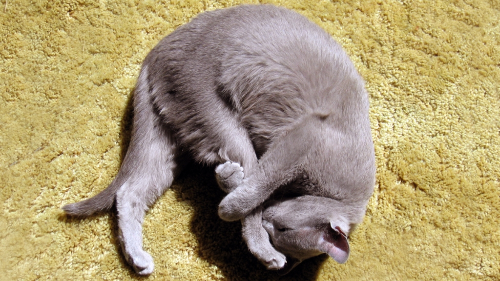 Gray cat curled up and holding its own leg