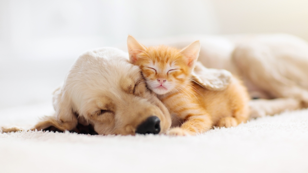 Small orange cat cuddling golden lab puppy