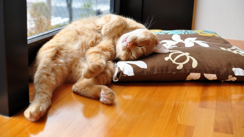 Ginger cat curled up asleep on floor pillow