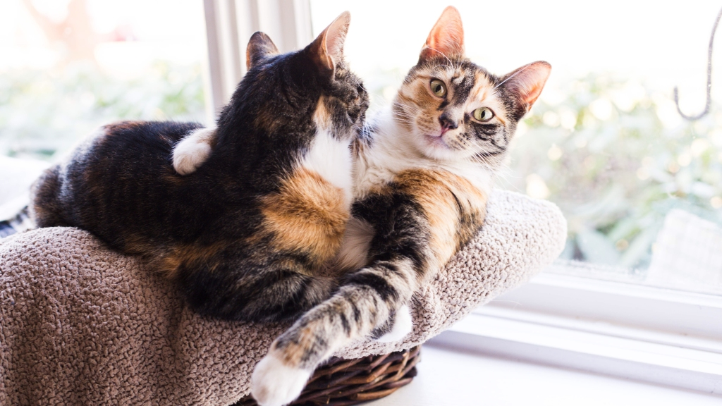 Calico cats hugging in a cat tree
