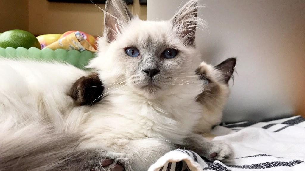 Ragdoll cats hugging on dinner table
