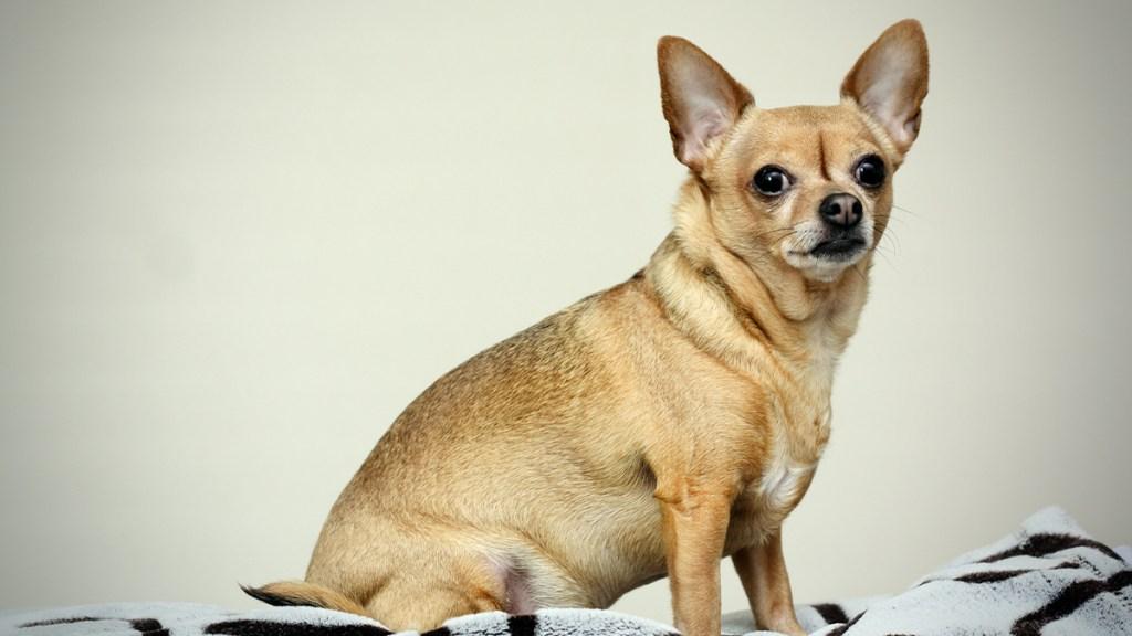 Short-Coat Chihuahua