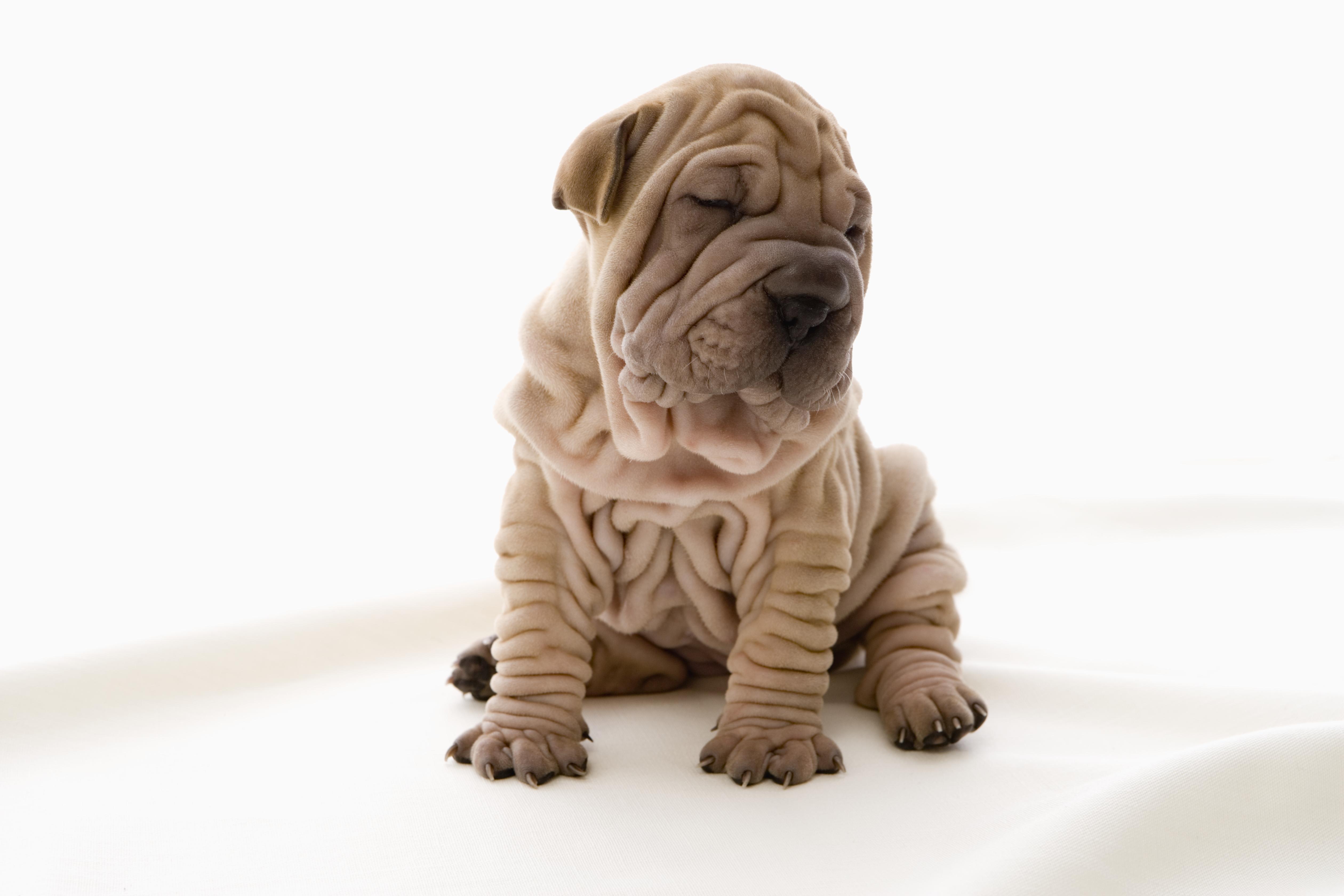 Shar-Pei-Puppy