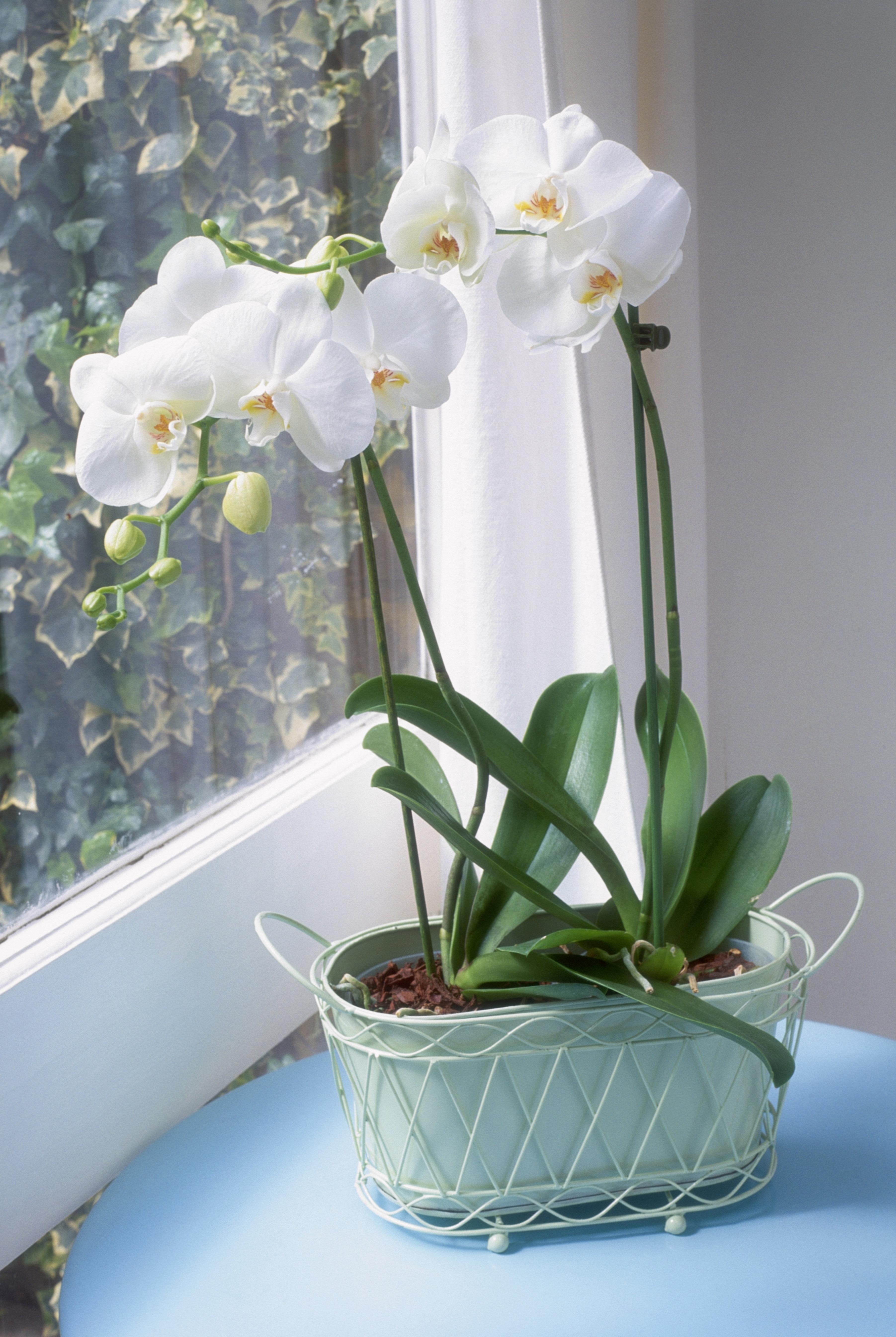 moth-orchid