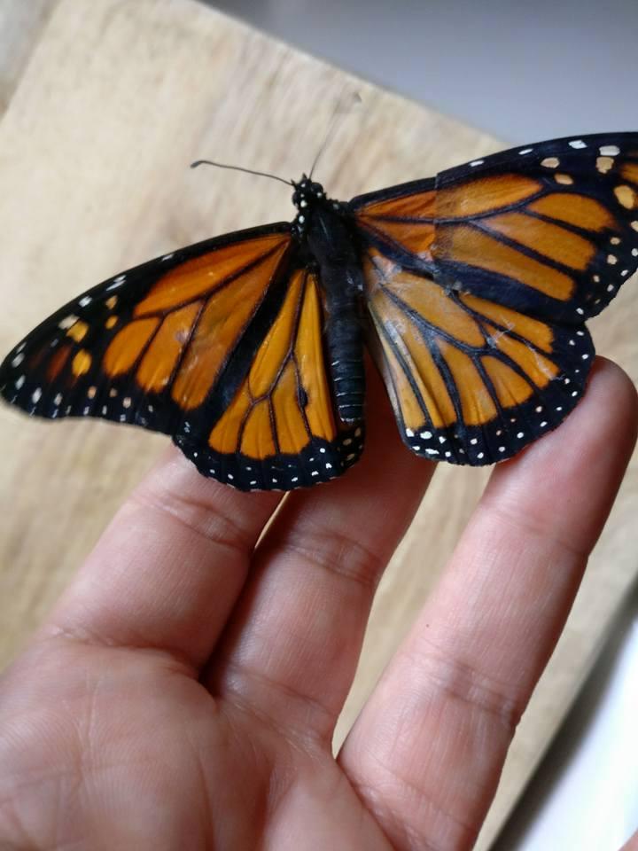 fixed butterfly wings