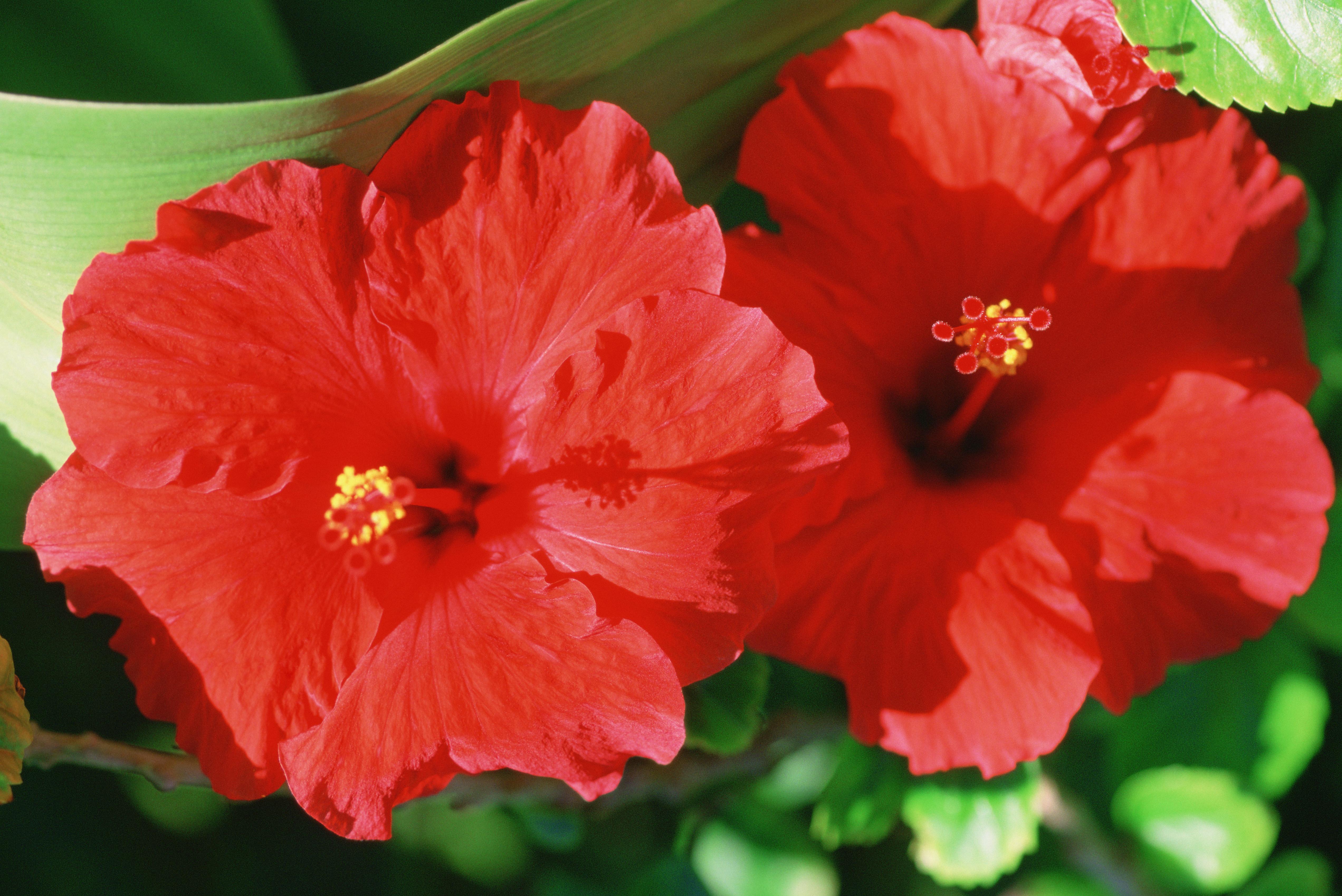 hibiscus tea good for you
