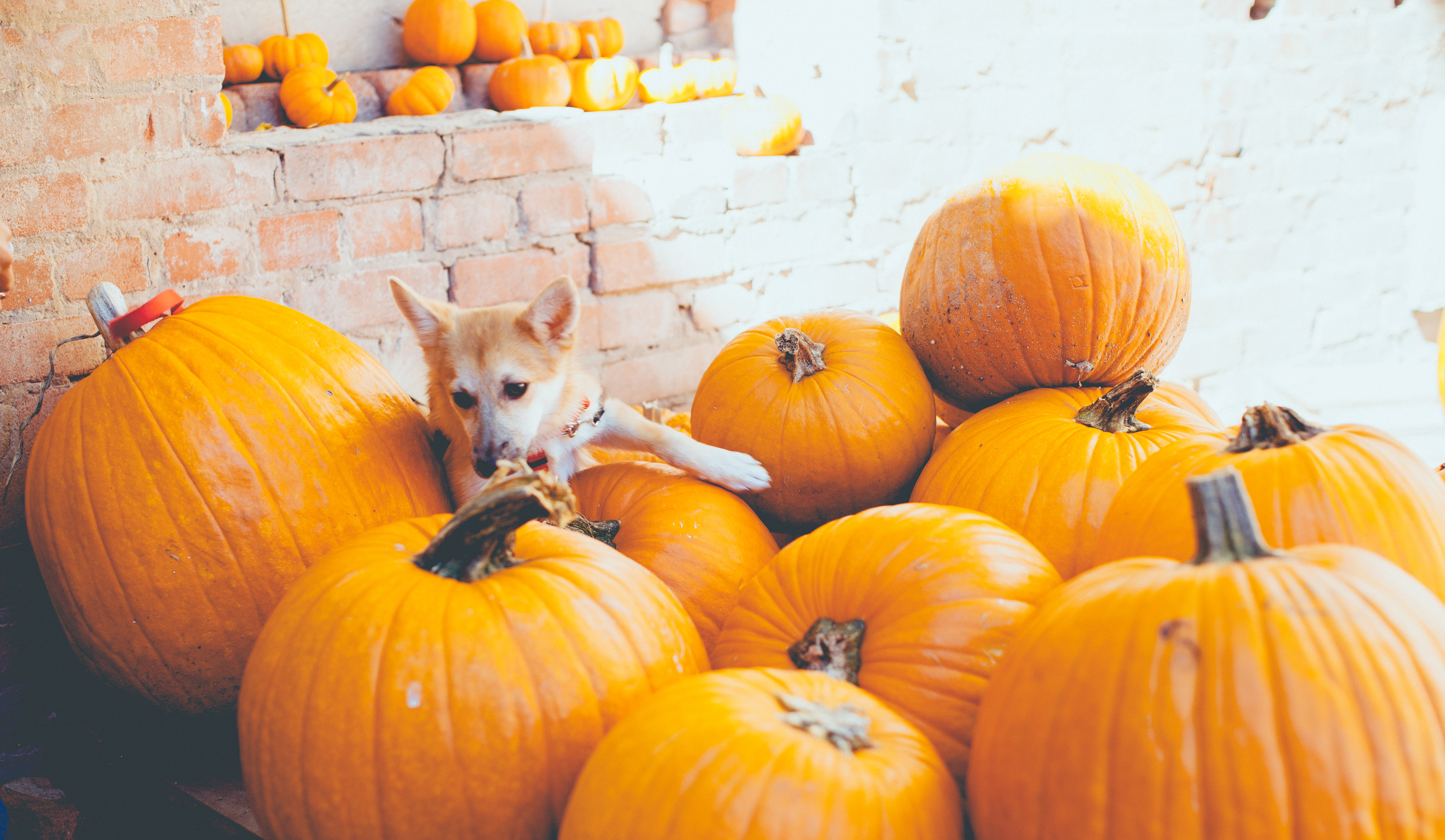 Is Pumpkin Good For Dogs?